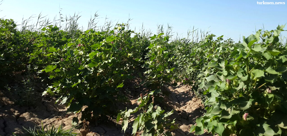 Turkmenistan: Longshoremen Sent to Harvest Cotton